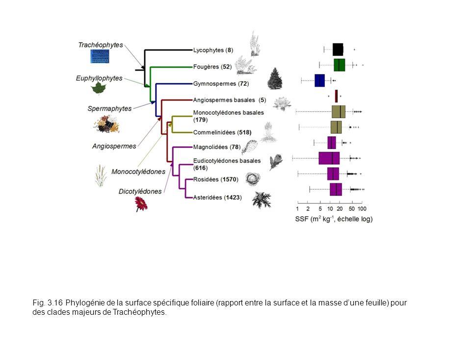 Fig. 3.16 Phylogénie de la surface spécifique foliaire (rapport entre la surface et la masse dune feuille) pour des clades majeurs de Trachéophytes.