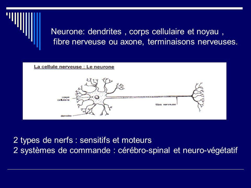 Neurone: dendrites, corps cellulaire et noyau, fibre nerveuse ou axone, terminaisons nerveuses. 2 types de nerfs : sensitifs et moteurs 2 systèmes de