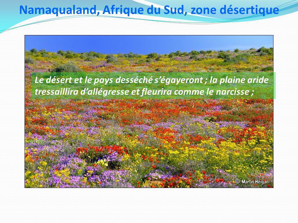 Namaqualand, Afrique du Sud, zone désertique Le désert et le pays desséché ségayeront ; la plaine aride tressaillira dallégresse et fleurira comme le narcisse ;
