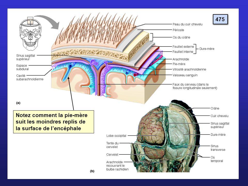 475 Notez comment la pie-mère suit les moindres replis de la surface de lencéphale