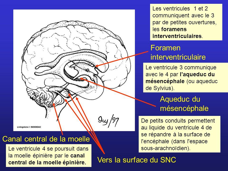 Foramen interventriculaire Les ventricules 1 et 2 communiquent avec le 3 par de petites ouvertures, les foramens interventriculaires. Aqueduc du mésen