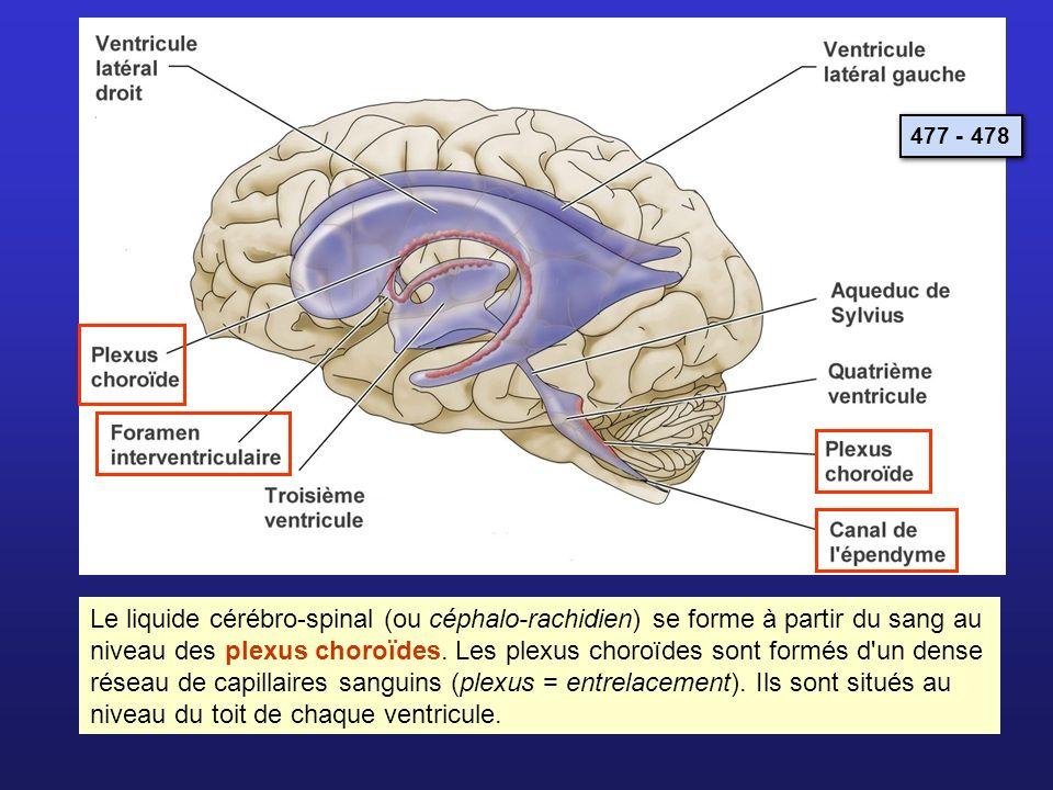 Le liquide cérébro-spinal (ou céphalo-rachidien) se forme à partir du sang au niveau des plexus choroïdes. Les plexus choroïdes sont formés d'un dense