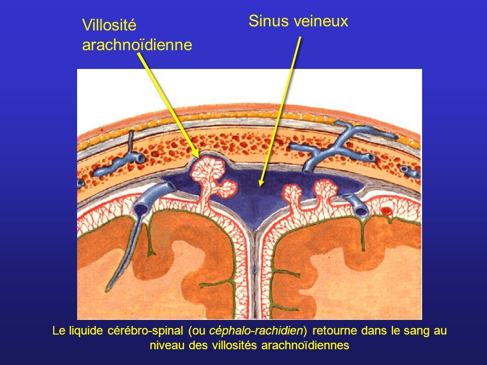 Villosité arachnoïdienne Sinus veineux Le liquide cérébro-spinal (ou céphalo-rachidien) retourne dans le sang au niveau des villosités arachnoïdiennes