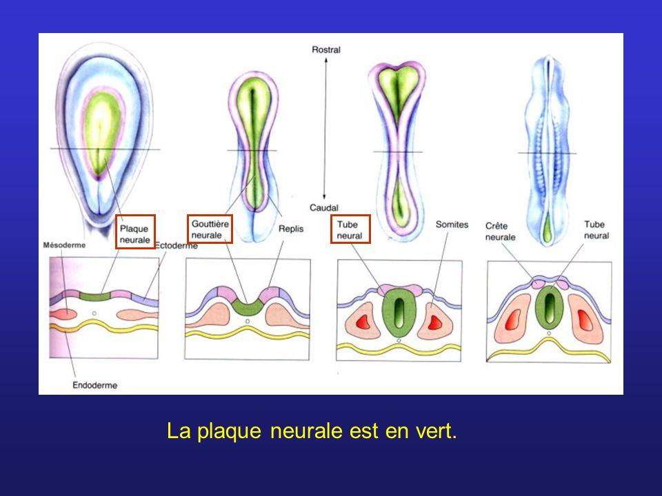 L avant du tube neurale se divise en trois sections : cerveau antérieur, cerveau moyen et cerveau postérieur.