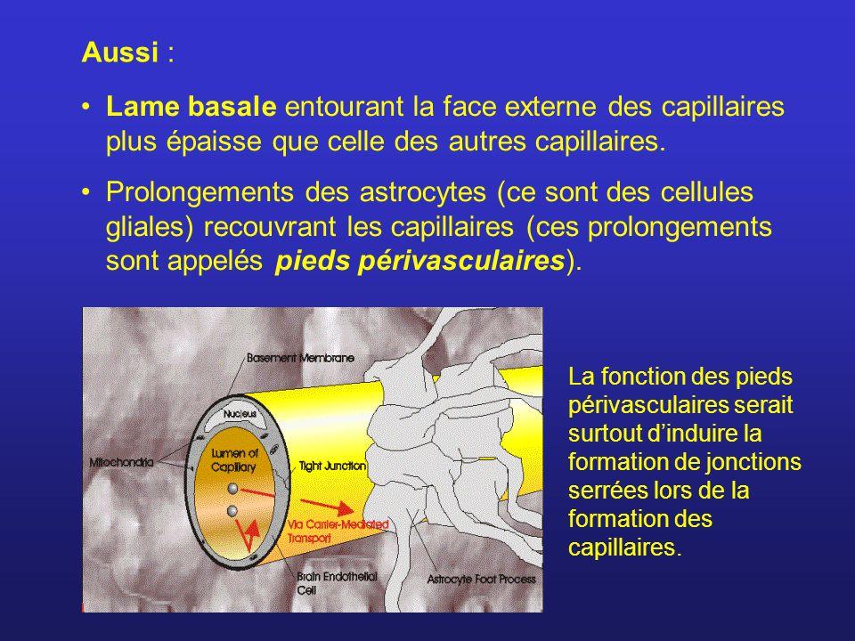 Lame basale entourant la face externe des capillaires plus épaisse que celle des autres capillaires. Prolongements des astrocytes (ce sont des cellule