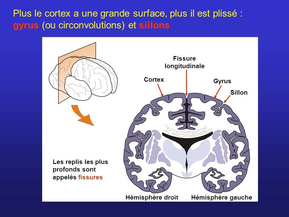 Plus le cortex a une grande surface, plus il est plissé : gyrus (ou circonvolutions) et sillons Cortex Hémisphère droit Sillon Gyrus Hémisphère gauche