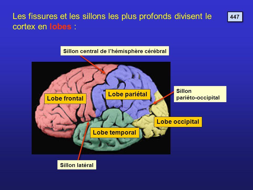 Lobe frontal Lobe pariétal Lobe occipital Lobe temporal Les fissures et les sillons les plus profonds divisent le cortex en lobes : Sillon central de