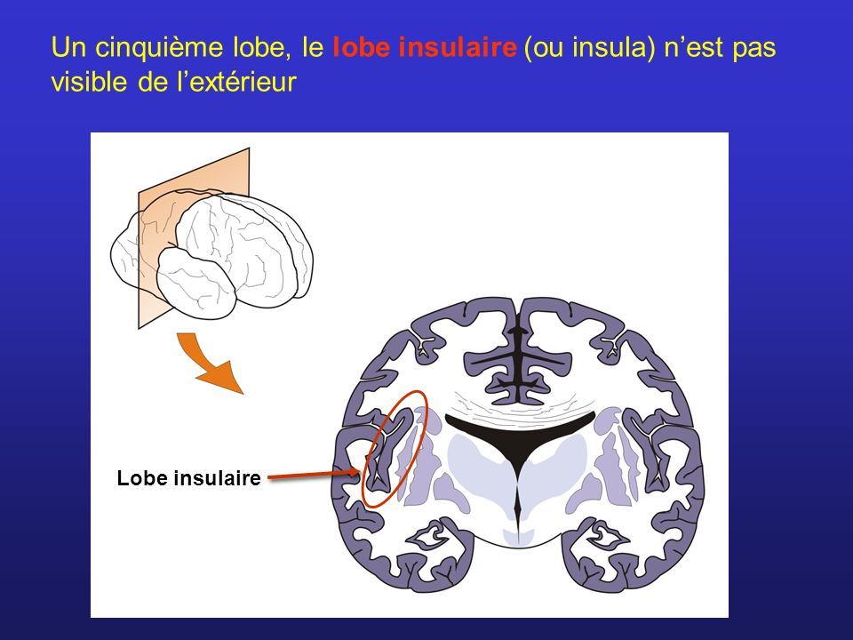 Lobe insulaire Un cinquième lobe, le lobe insulaire (ou insula) nest pas visible de lextérieur