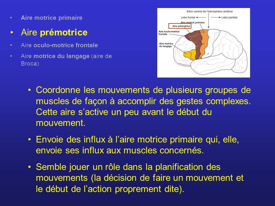 Aire motrice primaire Aire prémotrice Aire oculo-motrice frontale Aire motrice du langage (aire de Broca) Coordonne les mouvements de plusieurs groupe