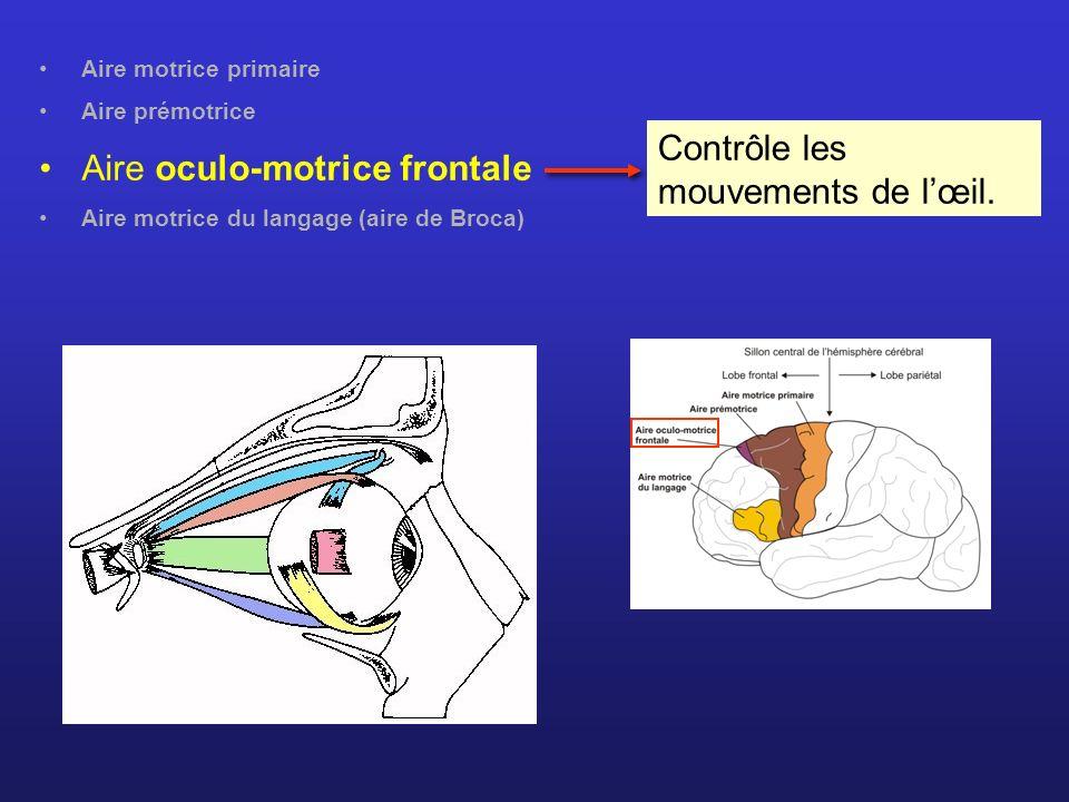 Aire motrice primaire Aire prémotrice Aire oculo-motrice frontale Aire motrice du langage (aire de Broca) Contrôle les mouvements de lœil.