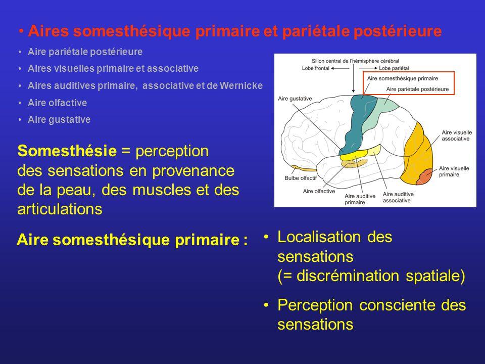 Aires somesthésique primaire et pariétale postérieure Aire pariétale postérieure Aires visuelles primaire et associative Aires auditives primaire, ass