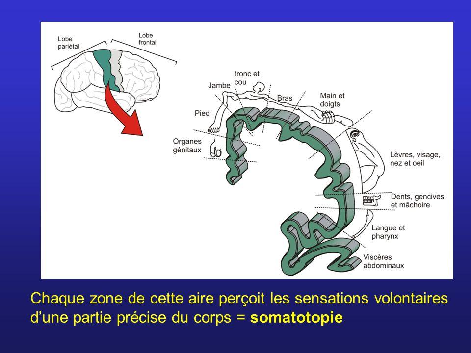 Chaque zone de cette aire perçoit les sensations volontaires dune partie précise du corps = somatotopie