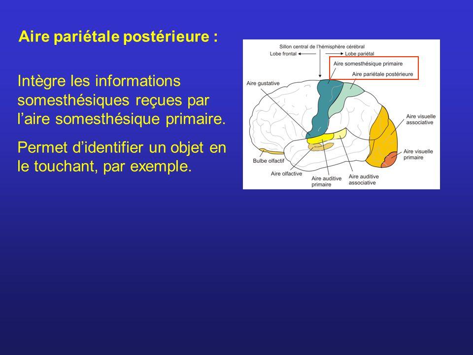 Aire pariétale postérieure : Intègre les informations somesthésiques reçues par laire somesthésique primaire. Permet didentifier un objet en le toucha