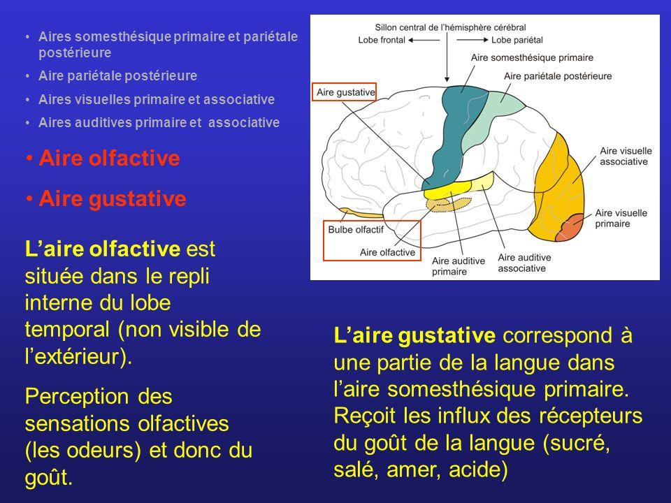 Aires somesthésique primaire et pariétale postérieure Aire pariétale postérieure Aires visuelles primaire et associative Aires auditives primaire et a
