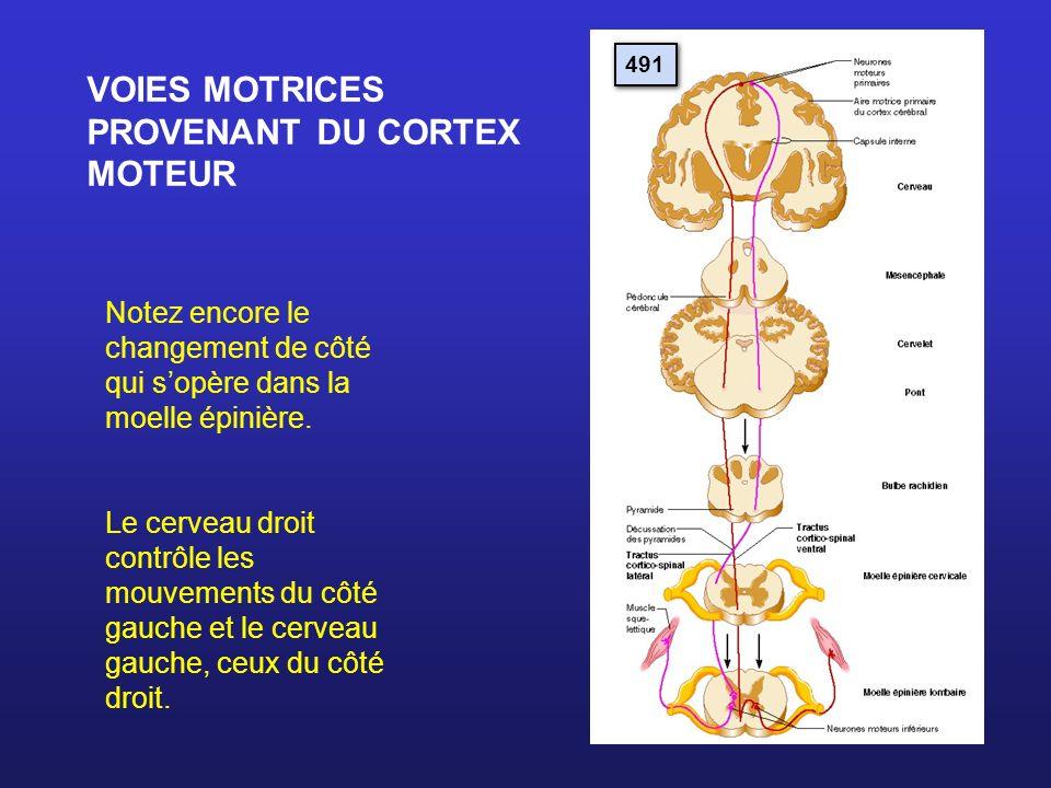 VOIES MOTRICES PROVENANT DU CORTEX MOTEUR Notez encore le changement de côté qui sopère dans la moelle épinière. Le cerveau droit contrôle les mouveme