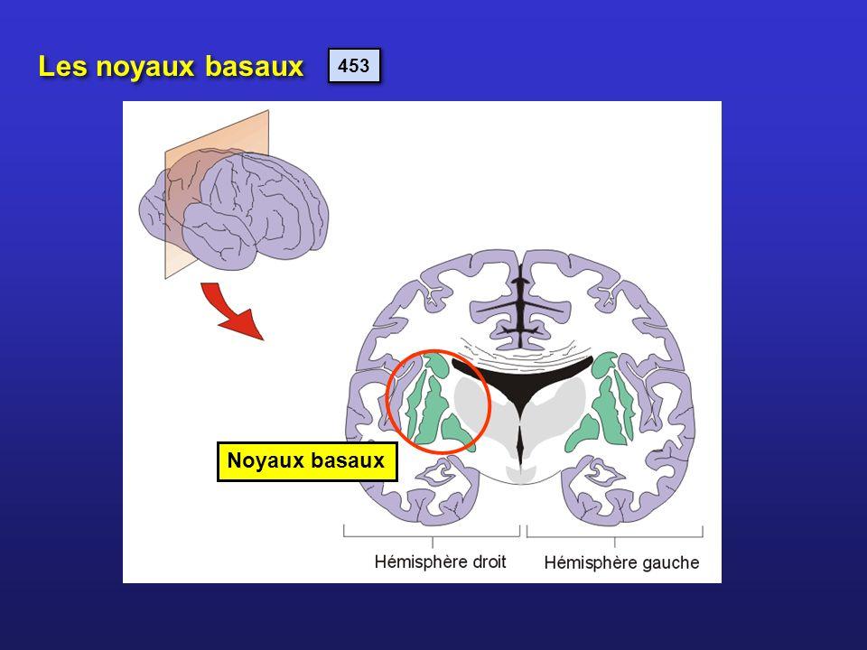 Les noyaux basaux Noyaux basaux 453