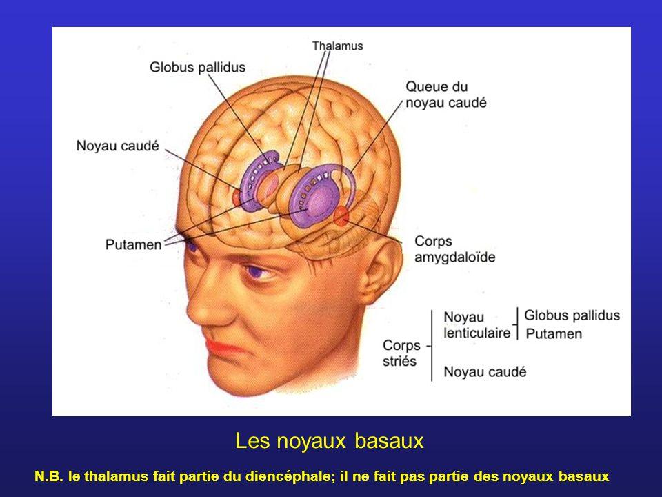 Les noyaux basaux N.B. le thalamus fait partie du diencéphale; il ne fait pas partie des noyaux basaux