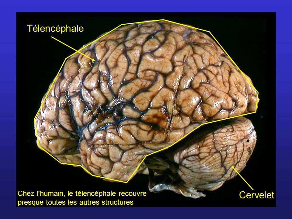 Formé de substance blanche contenant des amas de substance grise (noyaux) Substance blanche: Fibres myélinisées : liaison entre moelle et structures supérieures et avec cervelet.