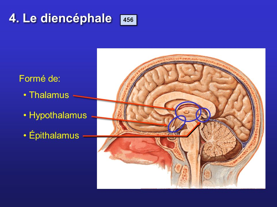 Formé de: Épithalamus Thalamus Hypothalamus 4. Le diencéphale 456