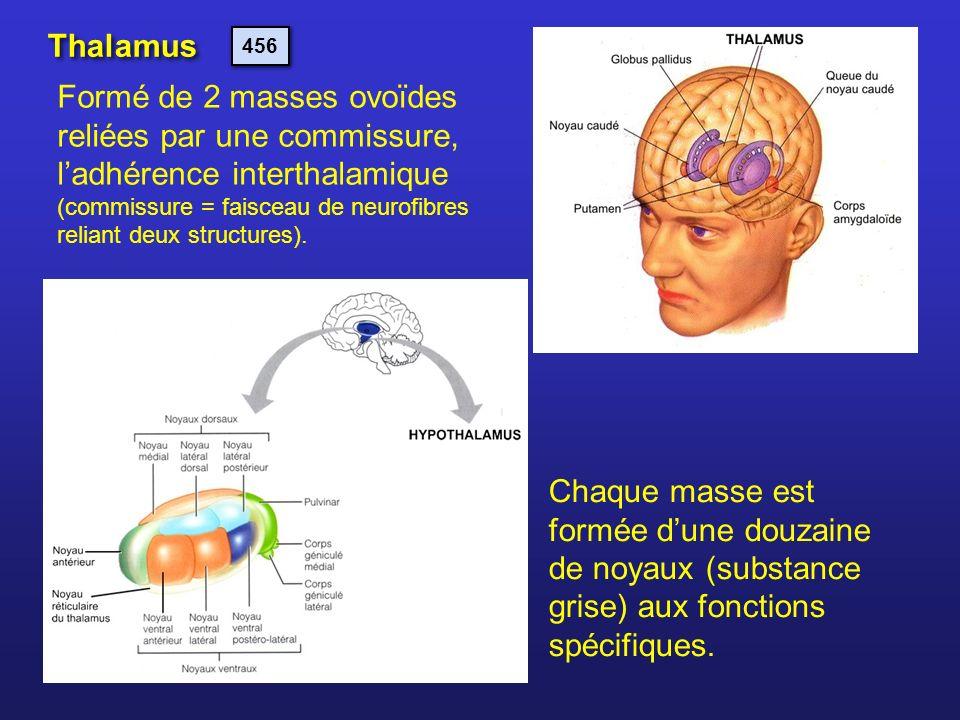Thalamus Formé de 2 masses ovoïdes reliées par une commissure, ladhérence interthalamique (commissure = faisceau de neurofibres reliant deux structure
