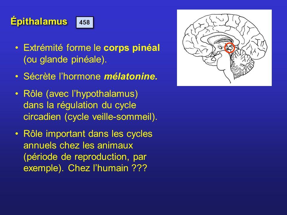 Épithalamus Extrémité forme le corps pinéal (ou glande pinéale). Sécrète lhormone mélatonine. Rôle (avec lhypothalamus) dans la régulation du cycle ci