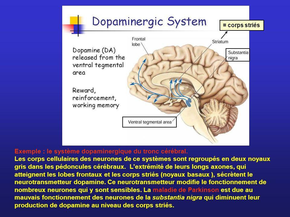 Exemple : le système dopaminergique du tronc cérébral. Les corps cellulaires des neurones de ce systèmes sont regroupés en deux noyaux gris dans les p