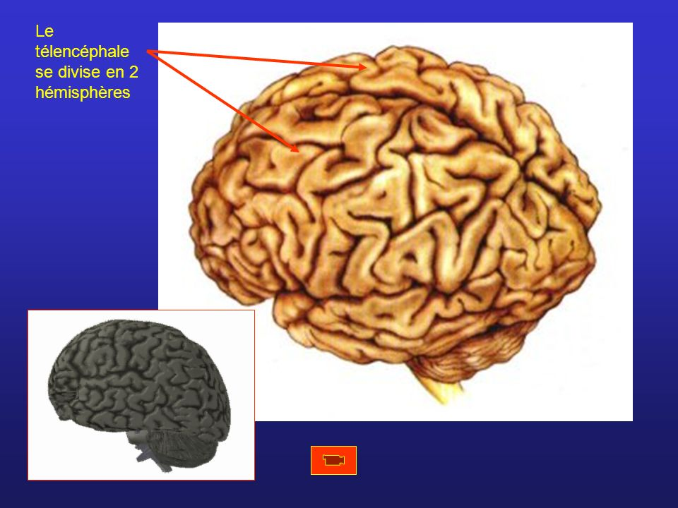 Télencéphale Mésencéphale Pont (protubérance) Bulbe rachidien Ces trois structures forment le tronc cérébral Cervelet Diencéphale