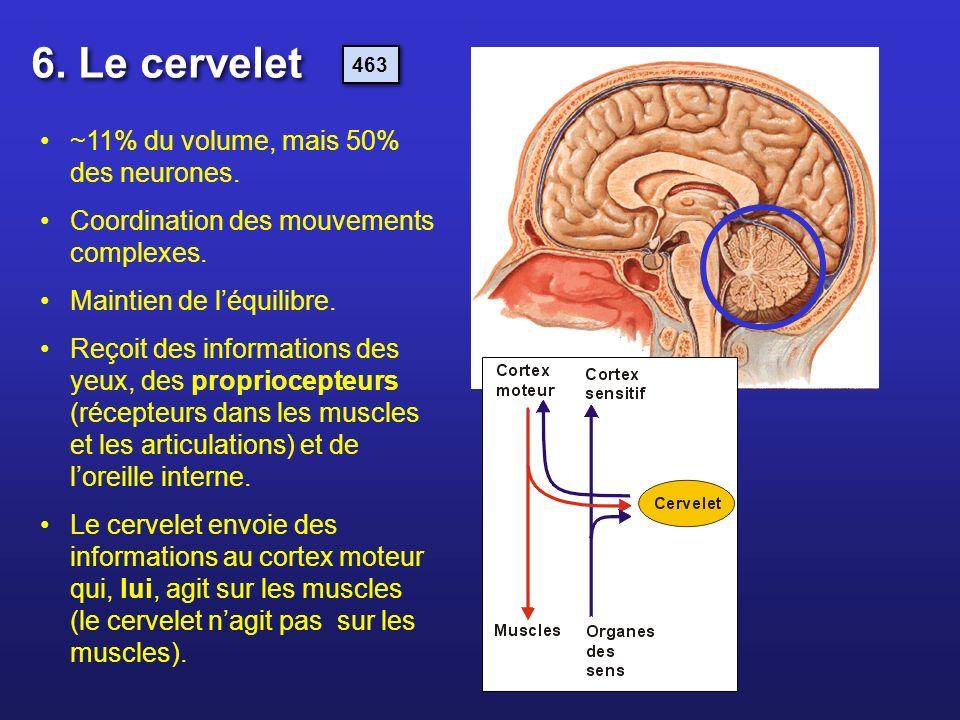 ~11% du volume, mais 50% des neurones. Coordination des mouvements complexes. Maintien de léquilibre. Reçoit des informations des yeux, des propriocep