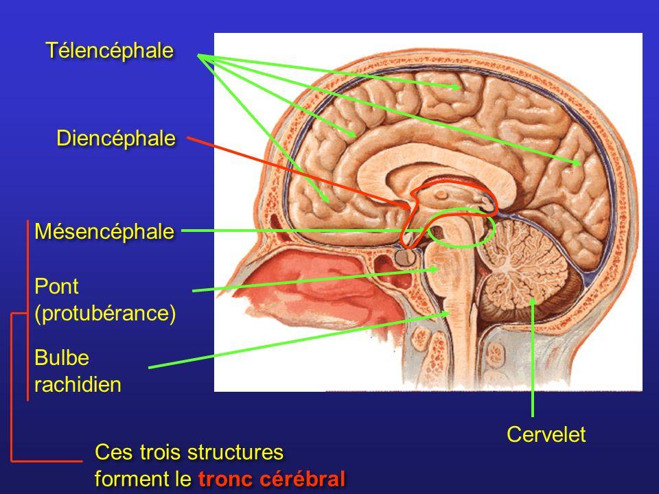 Exemple : le système dopaminergique du tronc cérébral.