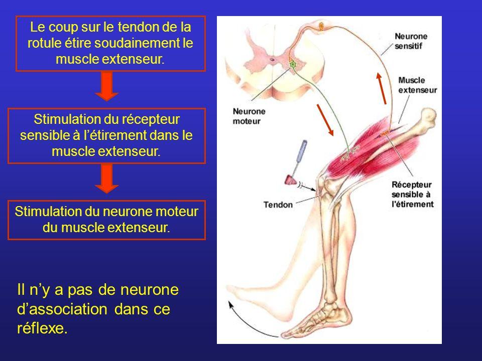 Le coup sur le tendon de la rotule étire soudainement le muscle extenseur. Stimulation du récepteur sensible à létirement dans le muscle extenseur. St