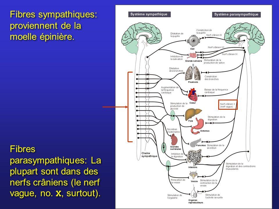 Fibres sympathiques: proviennent de la moelle épinière. Fibres parasympathiques: La plupart sont dans des nerfs crâniens (le nerf vague, no. X, surtou