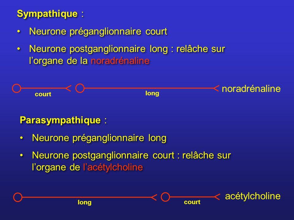 Sympathique : Neurone préganglionnaire court Neurone postganglionnaire long : relâche sur lorgane de la noradrénaline Sympathique : Neurone préganglio