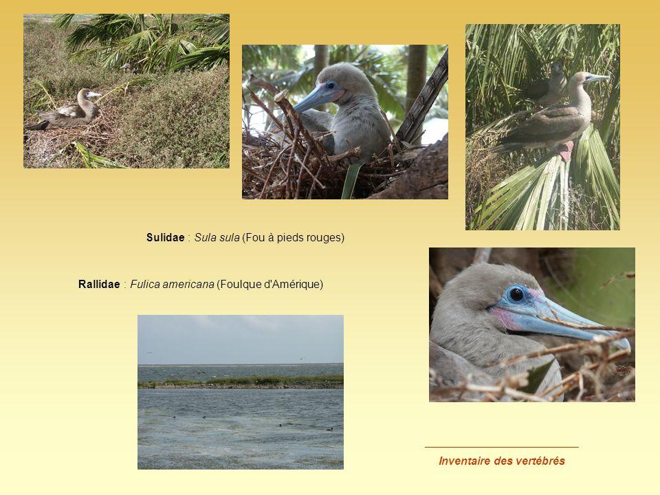 _________________________ Inventaire des vertébrés Sulidae : Sula sula (Fou à pieds rouges) Rallidae : Fulica americana (Foulque d'Amérique)