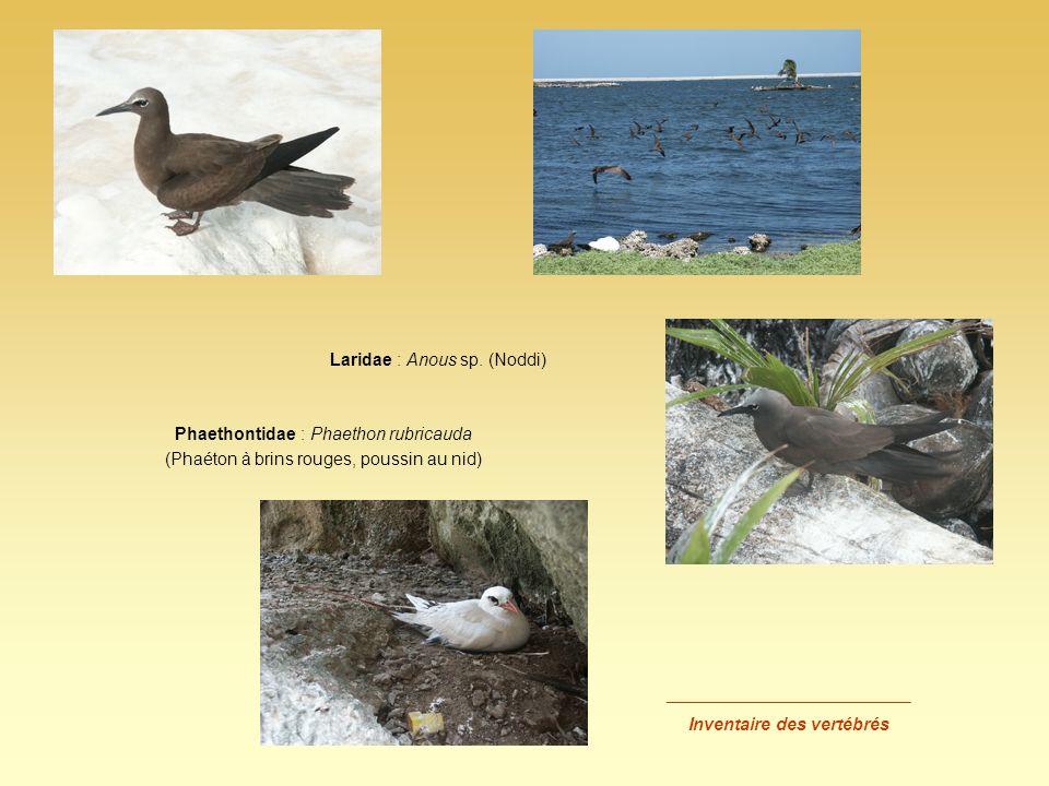 _________________________ Inventaire des vertébrés Laridae : Anous sp. (Noddi) Phaethontidae : Phaethon rubricauda (Phaéton à brins rouges, poussin au