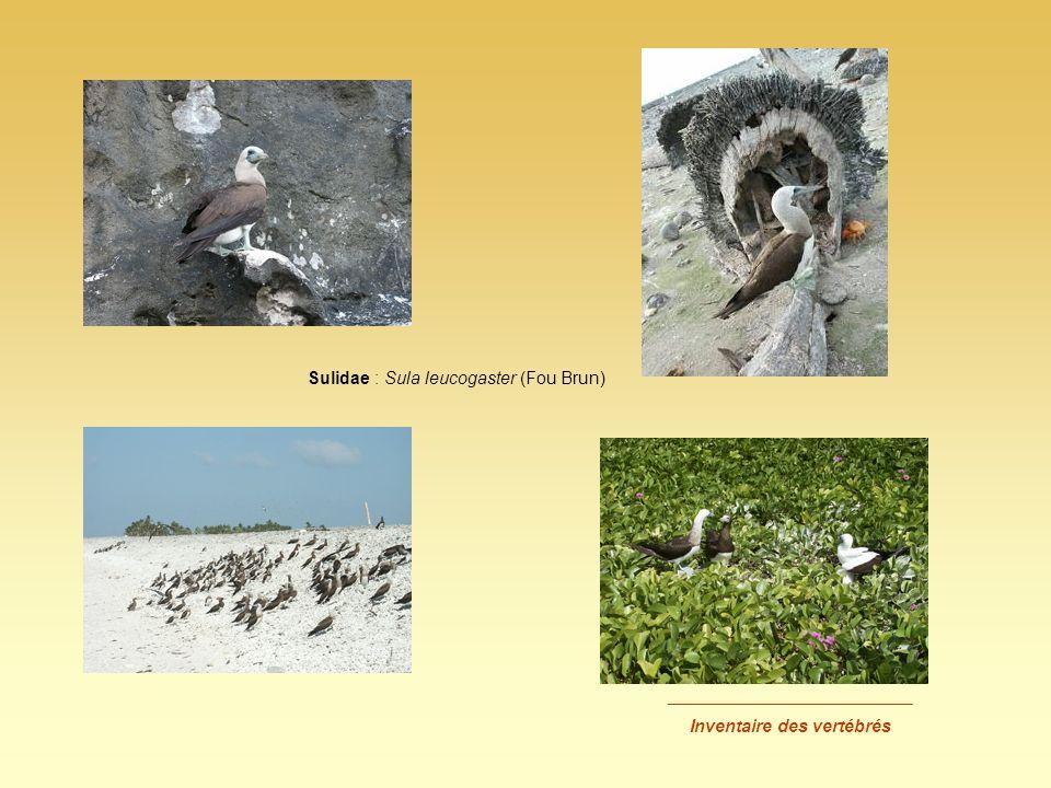 _________________________ Inventaire des vertébrés Sulidae : Sula leucogaster (Fou Brun)