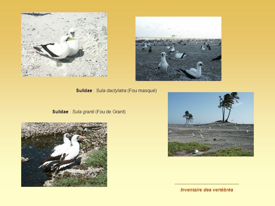 _________________________ Inventaire des vertébrés Sulidae : Sula dactylatra (Fou masqué) Sulidae : Sula granti (Fou de Grant)
