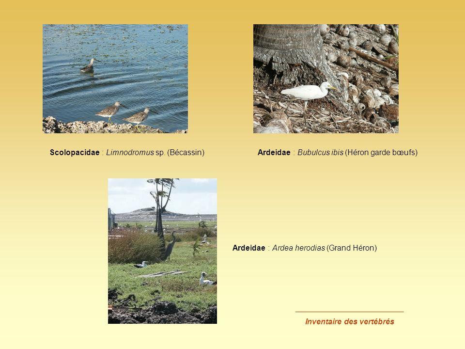 _________________________ Inventaire des vertébrés Scolopacidae : Limnodromus sp. (Bécassin)Ardeidae : Bubulcus ibis (Héron garde bœufs) Ardeidae : Ar