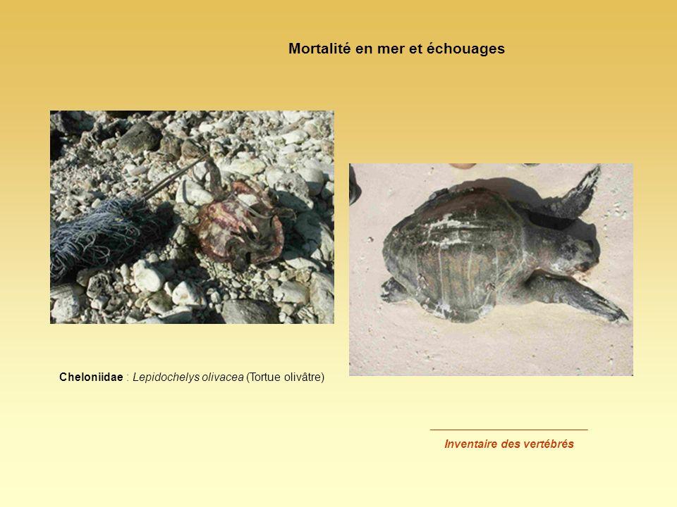 Cheloniidae : Lepidochelys olivacea (Tortue olivâtre) Mortalité en mer et échouages _________________________ Inventaire des vertébrés