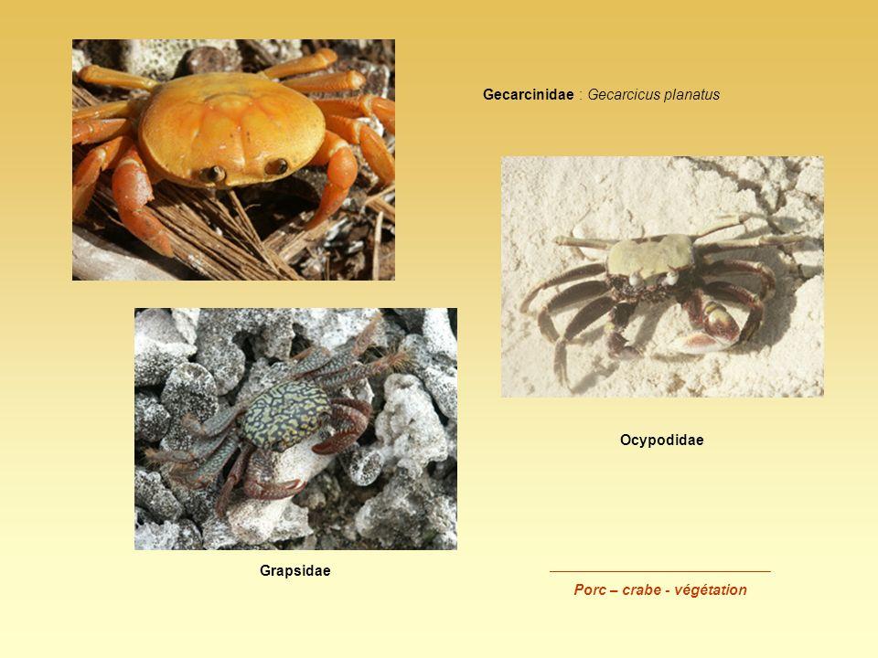 Gecarcinidae : Gecarcicus planatus Grapsidae Ocypodidae ___________________________ Porc – crabe - végétation