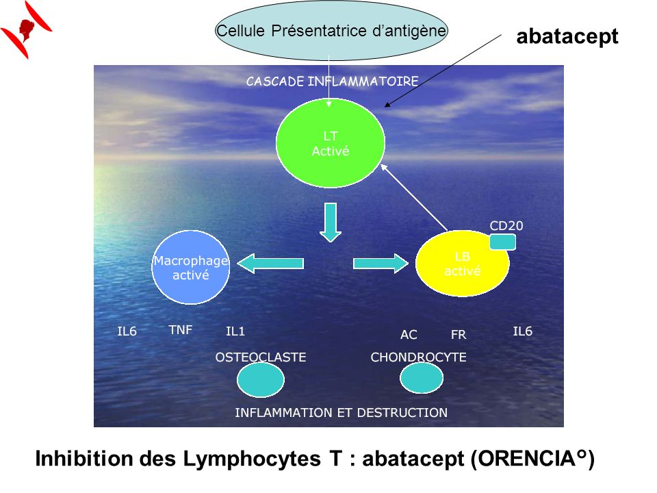 abatacept Cellule Présentatrice dantigène Inhibition des Lymphocytes T : abatacept (ORENCIA°)