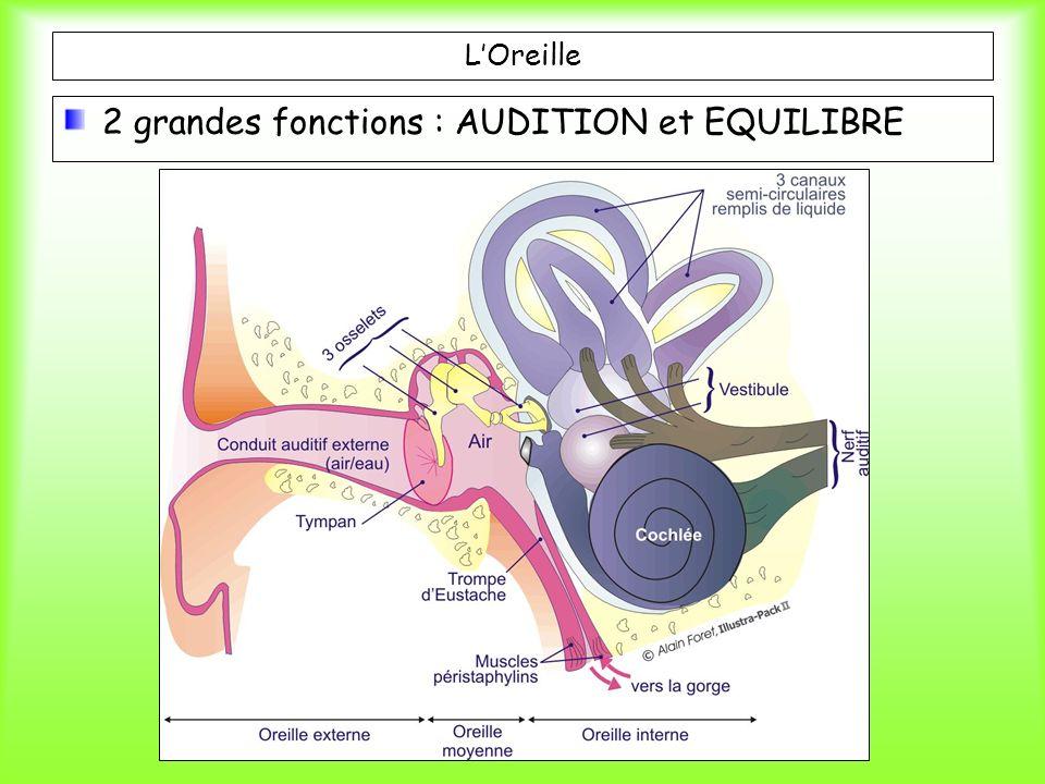 LOreille 2 grandes fonctions : AUDITION et EQUILIBRE