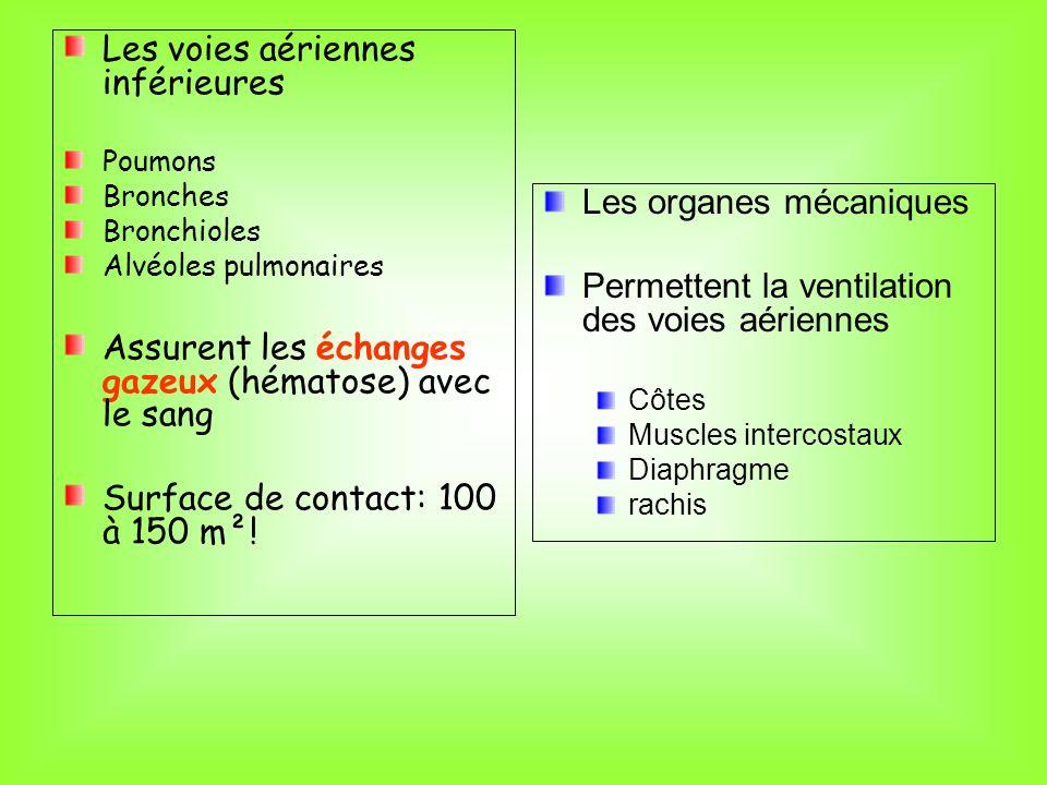 Les voies aériennes inférieures Poumons Bronches Bronchioles Alvéoles pulmonaires Assurent les échanges gazeux (hématose) avec le sang Surface de cont