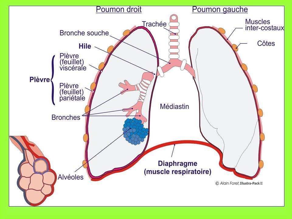 O2O2 CO 2 Sang Veineux Sang Artériel Alvéoles INSPIRATION EXPIRATION Fonctionnement des échanges gazeux au niveau d une alvéole pulmonaire (1/2)