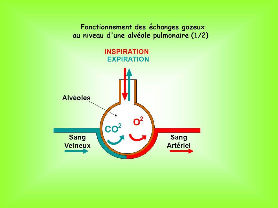O2O2 CO 2 Sang Veineux Sang Artériel Alvéoles INSPIRATION EXPIRATION Fonctionnement des échanges gazeux au niveau d'une alvéole pulmonaire (1/2)
