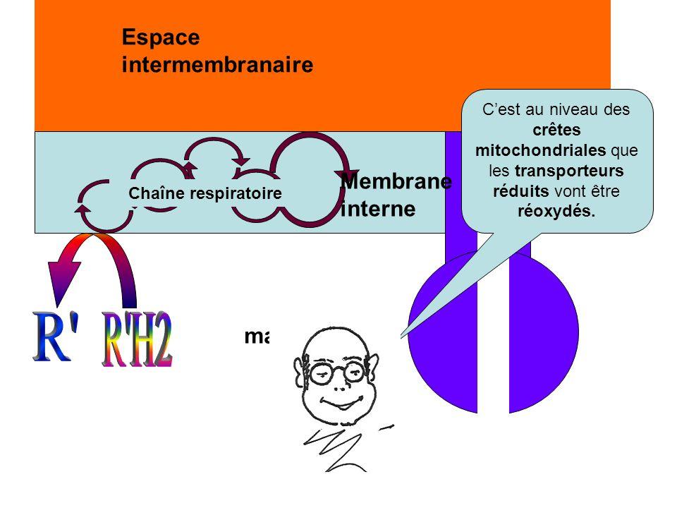 matrice Espace intermembranaire Membrane interne Chaîne respiratoire Cest au niveau des crêtes mitochondriales que les transporteurs réduits vont être