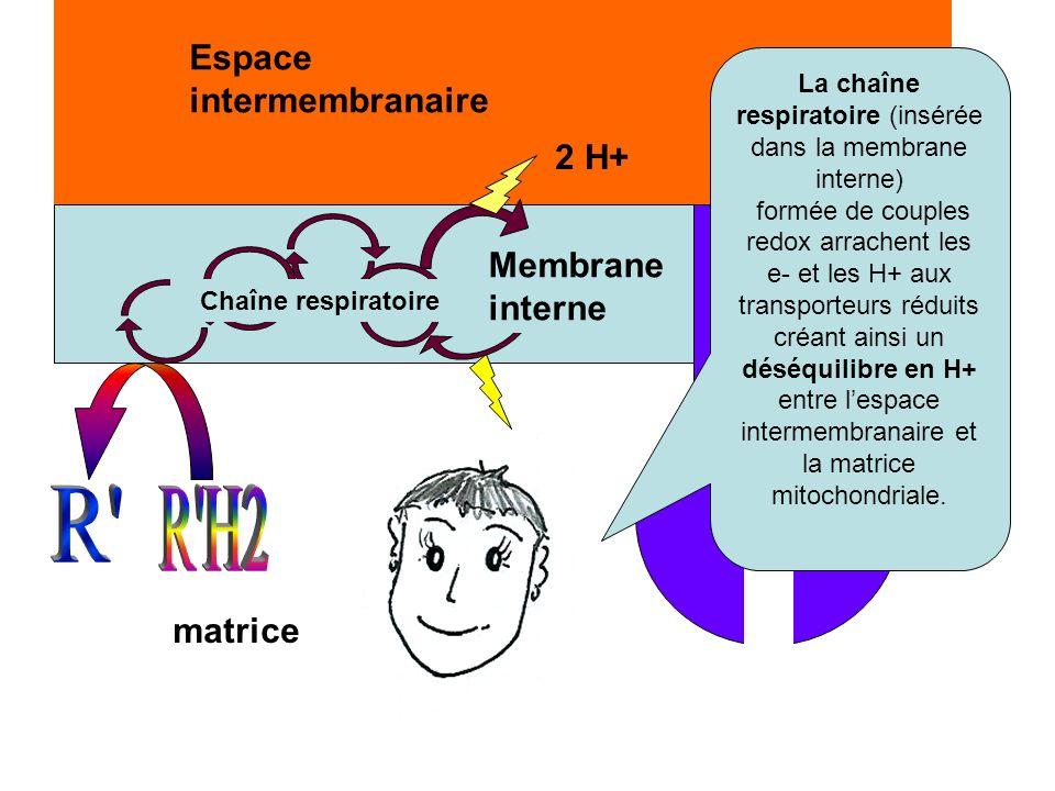 matrice Espace intermembranaire Membrane interne Chaîne respiratoire 2 e- 2 H+ La chaîne respiratoire (insérée dans la membrane interne) formée de cou