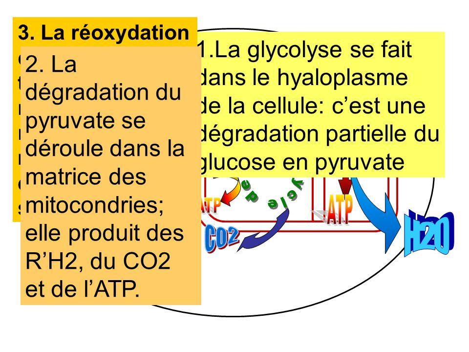 mitochondrie MATRICE HYALOPLASME 1.La glycolyse se fait dans le hyaloplasme de la cellule: cest une dégradation partielle du glucose en pyruvate 3. La