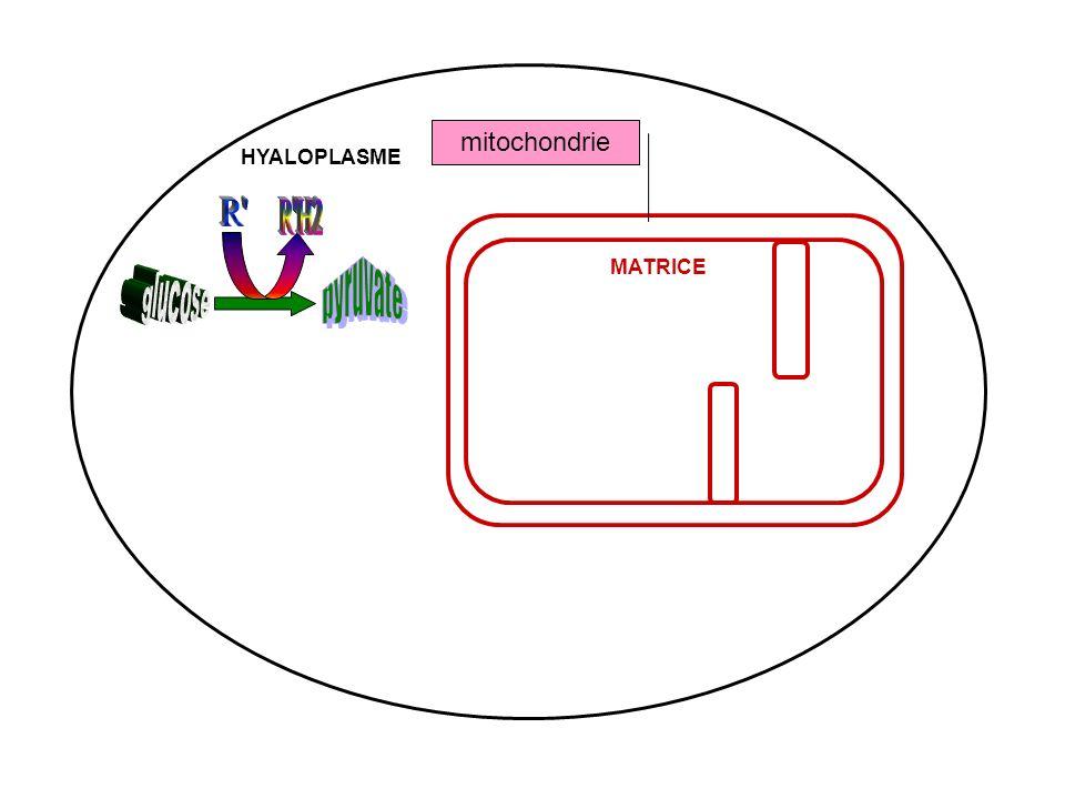 mitochondrie MATRICE HYALOPLASME
