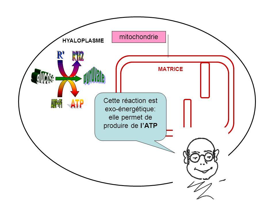 mitochondrie MATRICE HYALOPLASME Cette réaction est exo-énergétique: elle permet de produire de lATP