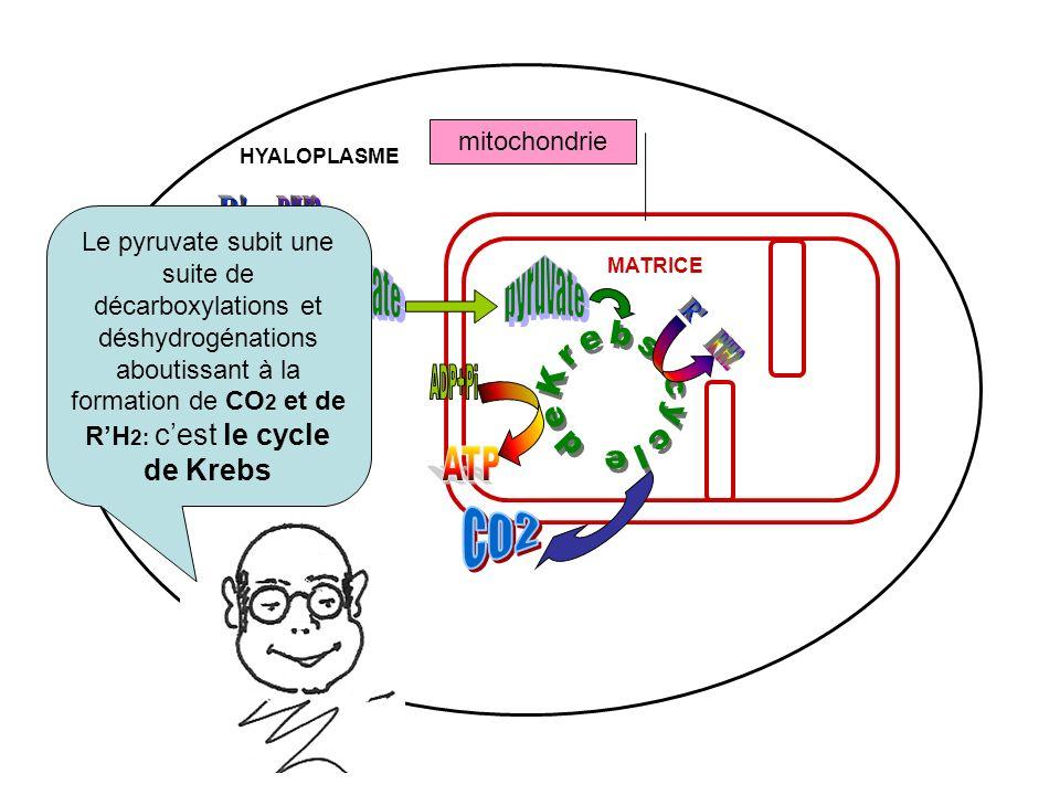 mitochondrie MATRICE HYALOPLASME Le pyruvate subit une suite de décarboxylations et déshydrogénations aboutissant à la formation de CO 2 et de RH 2: c